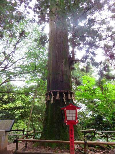 高尾山 スギ並木