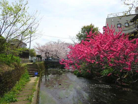 水の苑緑地 桜
