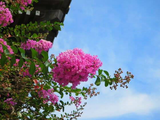 鎌倉 本覚寺 サルスベリ