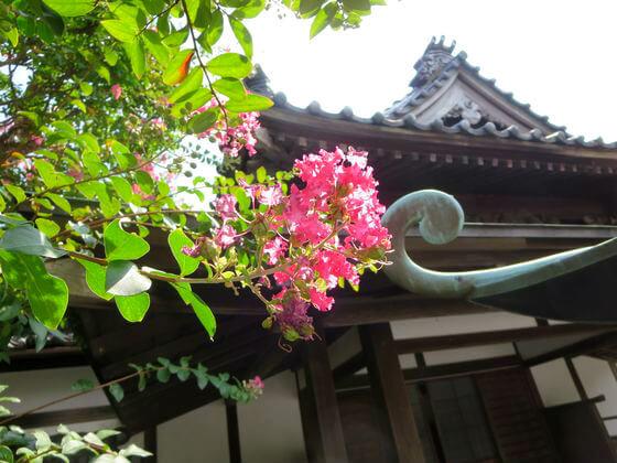 サルスベリ 鎌倉