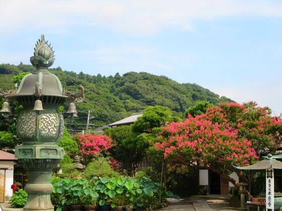 本覚寺 サルスベリ
