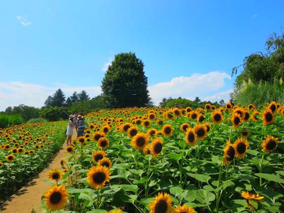 東京でオススメのひまわり畑その3は国営昭和記念公園