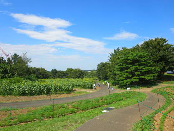 国営昭和記念公園 ひまわり畑 花の丘