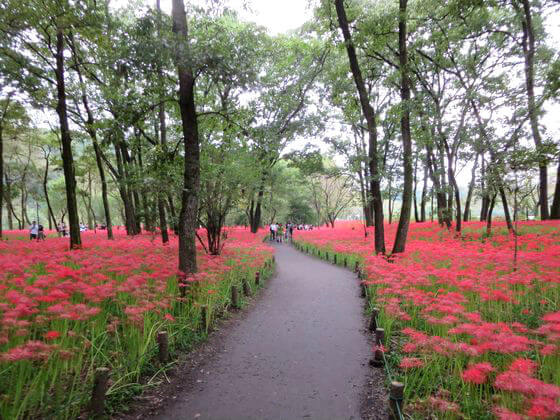 巾着田 曼珠沙華公園