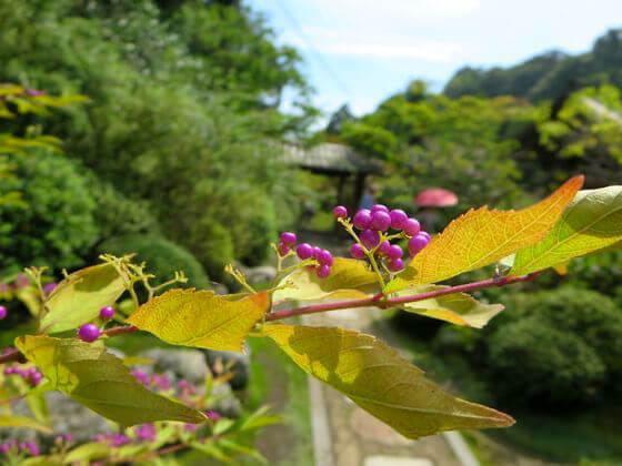 鎌倉 海蔵寺 小紫
