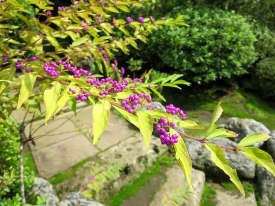 海蔵寺 鎌倉 小紫