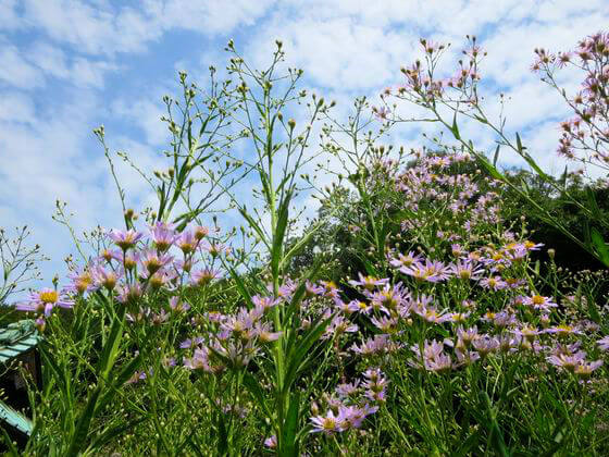 海蔵寺 鎌倉 紫苑