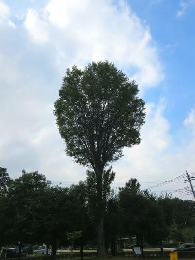 ケヤキ品種「むさし」の原木
