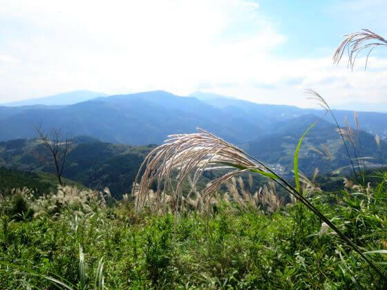 大野山 ススキ