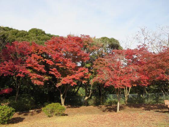 源氏山公園 紅葉 現在