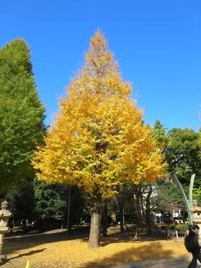 銀杏 靖国神社