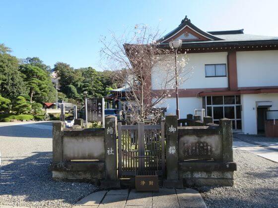 本行寺 御会式桜