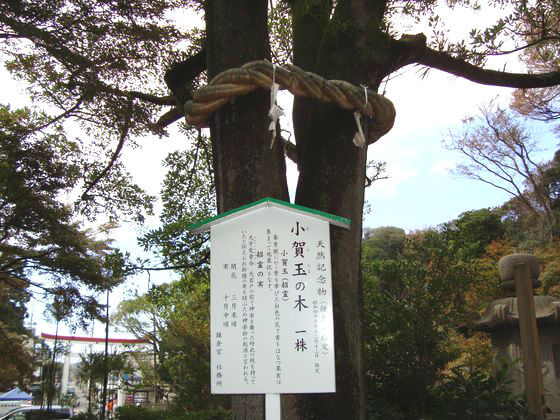 鎌倉宮 小賀玉の木