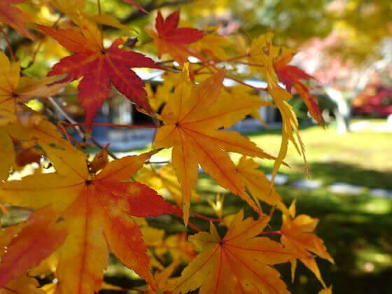 紅葉と楓の違い