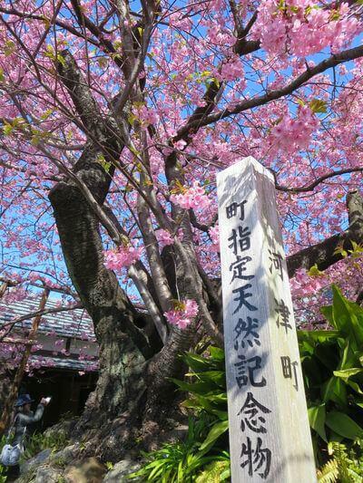 河津桜 原木