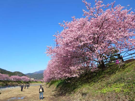 河津桜とは