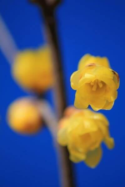 ロウバイ 花言葉