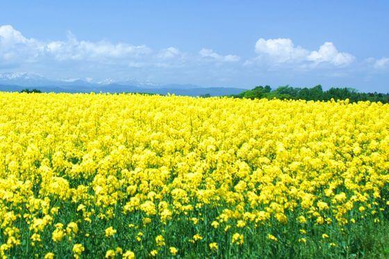菜の花とは