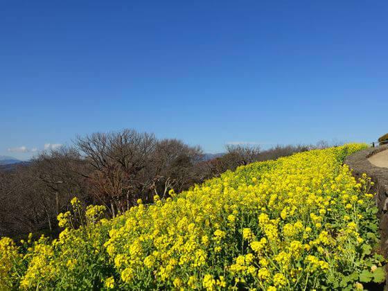 吾妻山公園 菜の花 展望台