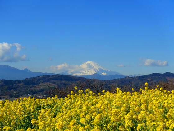 吾妻山公園 菜の花 富士山