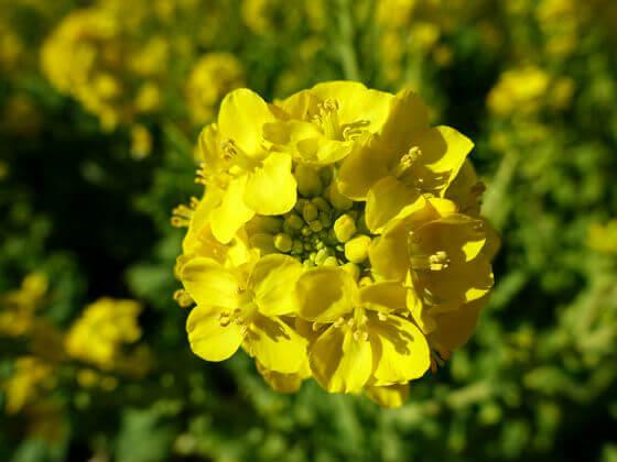 吾妻山公園 菜の花 写真