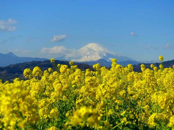 吾妻山公園 菜の花