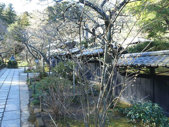東慶寺 和蝋梅