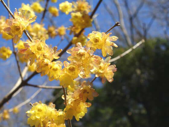 鎌倉 明月院 蝋梅