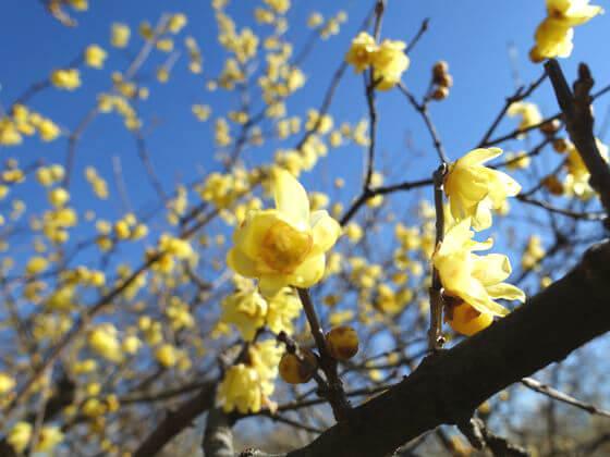 府中郷土の森 満月蝋梅