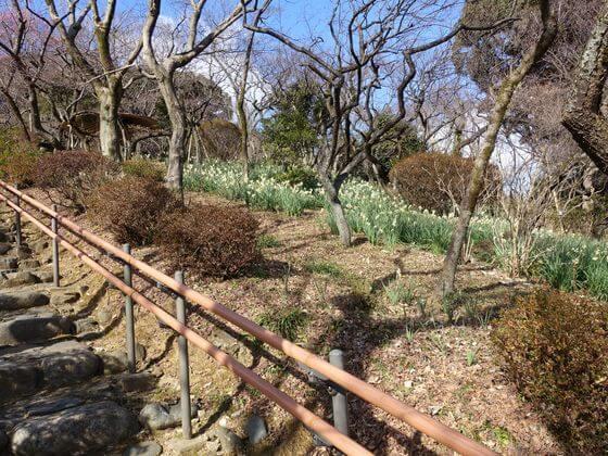 百草園 スイセン畑