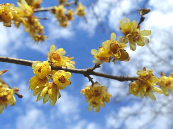 神代植物公園 蝋梅