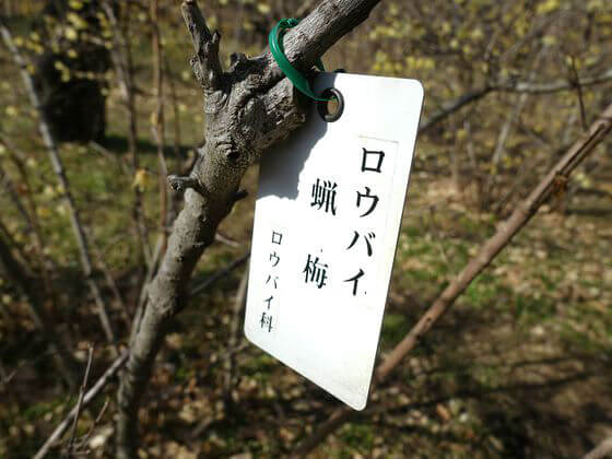 蝋梅 神代植物公園