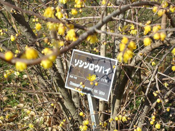 神代植物公園 素心蝋梅
