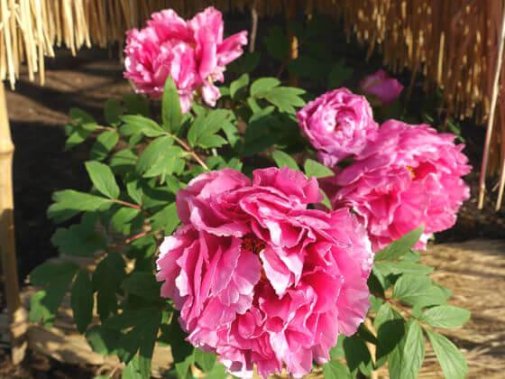 牡丹 紫紅殿