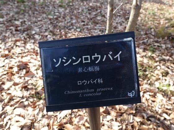 昭和記念公園 素心蝋梅