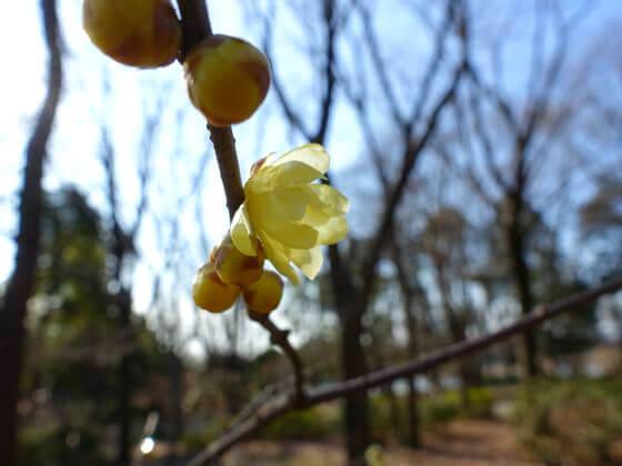 昭和記念公園 花木園 ロウバイ
