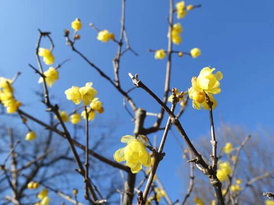 昭和記念公園 日本庭園 蝋梅