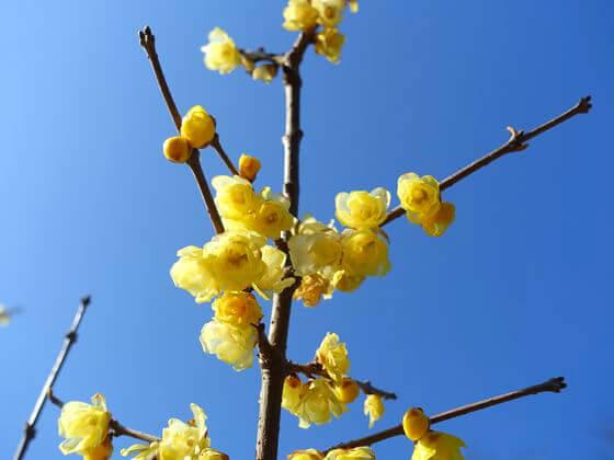 国営昭和記念公園 ロウバイ 日本庭園