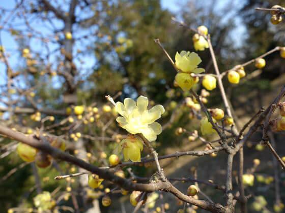国営昭和記念公園 蝋梅 こもれびの池