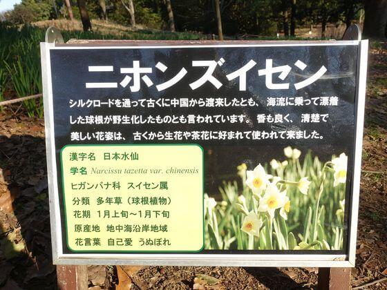 昭和記念公園 ニホンズイセン