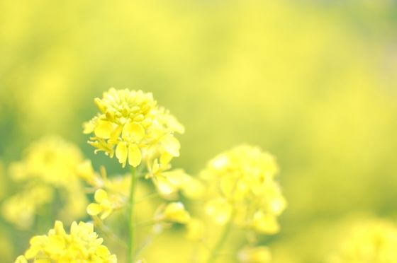 菜の花 花言葉