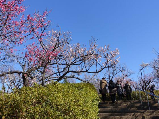 梅 世田谷 羽根木公園