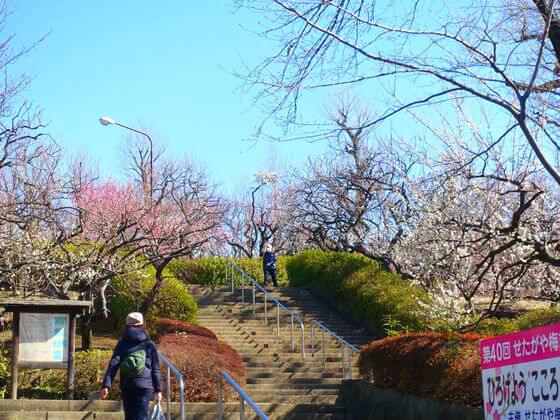 世田谷 羽根木公園 梅