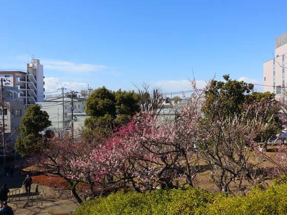 羽根木公園 梅