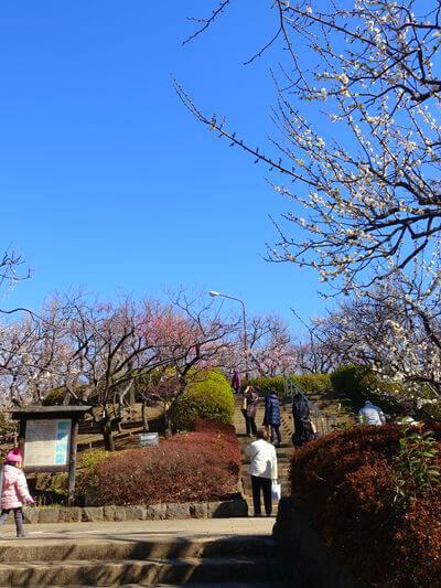 梅 羽根木公園