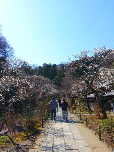 東慶寺 鎌倉 梅
