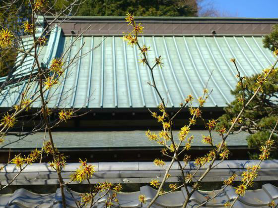 鎌倉 東慶寺 金縷梅