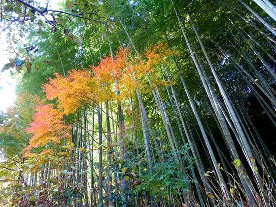 鎌倉 明月院 竹林