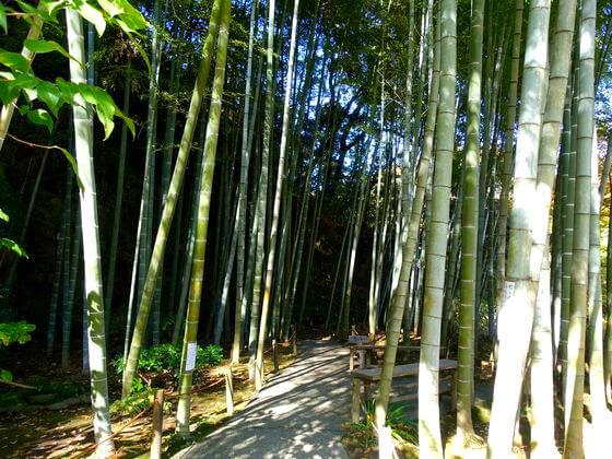 明月院 鎌倉 竹林