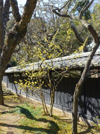 東慶寺 マンサク